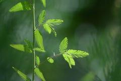 Το πράσινο όνομα φύλλων είναι ευαίσθητο φυτό ως υπόβαθρο Στοκ φωτογραφία με δικαίωμα ελεύθερης χρήσης