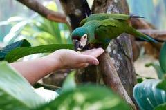 Το πράσινο ara παπαγάλων είναι ένα όμορφο Στοκ εικόνα με δικαίωμα ελεύθερης χρήσης