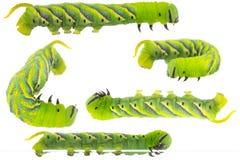 Το πράσινο Caterpillar του death& x27 κεφάλι του s hawkmoth στη διαφορετική θέση Στοκ φωτογραφία με δικαίωμα ελεύθερης χρήσης