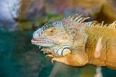 Το πράσινο iguana άνοιξε το στόμα του, κινηματογράφηση σε πρώτο πλάνο Στοκ εικόνες με δικαίωμα ελεύθερης χρήσης