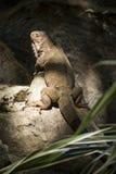 Το πράσινο iguana ή το κοινό iguana/είναι ένα είδος iguana εγγενές στην Κεντρική και Νότια Αμερική Στοκ εικόνα με δικαίωμα ελεύθερης χρήσης