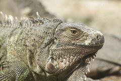 Το πράσινο iguana ή το κοινό iguana/είναι ένα είδος iguana εγγενές στην Κεντρική και Νότια Αμερική Στοκ φωτογραφία με δικαίωμα ελεύθερης χρήσης