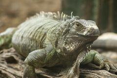 Το πράσινο iguana ή το κοινό iguana/είναι ένα είδος iguana εγγενές στην Κεντρική και Νότια Αμερική Στοκ Φωτογραφίες