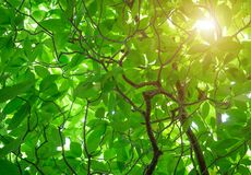 Το πράσινο odorata Cananga δέντρο είναι ένα τροπικό δέντρο που δημιουργείται Στοκ φωτογραφίες με δικαίωμα ελεύθερης χρήσης