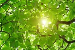 Το πράσινο odorata Cananga δέντρο είναι ένα τροπικό δέντρο που δημιουργείται Στοκ εικόνα με δικαίωμα ελεύθερης χρήσης