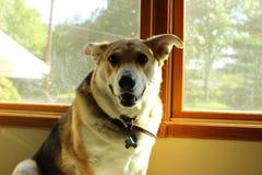 Το προσεκτικό σκυλί Στοκ φωτογραφία με δικαίωμα ελεύθερης χρήσης