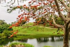 Το προστατευόμενο δέντρο Delonix Regia Poinciana κάλεσε επίσης το δέντρο φλογών στοκ εικόνες