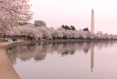 Το προχωρημένο στάδιο των δέντρων κερασιών ανθίζει με τα χρώματα του ροζ γύρω από την παλιρροιακή λεκάνη στο Washington DC, ΗΠΑ στοκ εικόνα με δικαίωμα ελεύθερης χρήσης