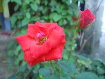 Το πρωί της Νίκαιας αυξήθηκε λουλούδι στη Σρι Λάνκα στοκ φωτογραφίες