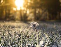 Το πρωί φθινοπώρου στην πάχνη χλόης και πικραλίδων και ο ήλιος λάμπουν Στοκ φωτογραφία με δικαίωμα ελεύθερης χρήσης