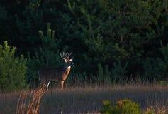 Το πρωί Buck στο Prowl για Στοκ Φωτογραφία