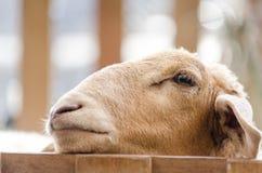 Το πρόβατο έχει τον ύπνο Στοκ Φωτογραφίες