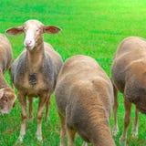 Το πρόβατο από ένα κοπάδι των προβάτων κλείνει το μάτι με ένα μάτι στοκ εικόνα με δικαίωμα ελεύθερης χρήσης