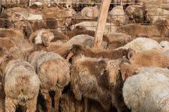 Το πρόβατο από το κοπάδι εξετάζει τη κάμερα Στοκ Εικόνα