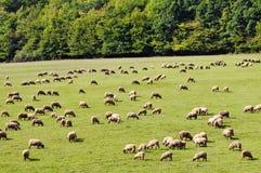 Το πρόβατο βόσκει Στοκ Εικόνες