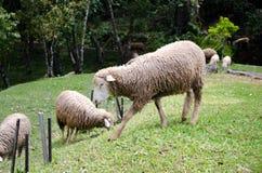 Το πρόβατο είναιφαγωμένη ?αγωμένη χλόη σε μια καλλιέργεια Στοκ εικόνα με δικαίωμα ελεύθερης χρήσης