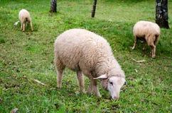 Το πρόβατο είναιφαγωμένη ?αγωμένη χλόη σε μια καλλιέργεια Στοκ φωτογραφία με δικαίωμα ελεύθερης χρήσης