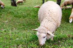 Το πρόβατο είναιφαγωμένη ?αγωμένη χλόη σε μια καλλιέργεια Στοκ Φωτογραφία
