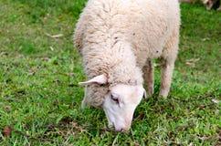 Το πρόβατο είναιφαγωμένη ?αγωμένη χλόη σε μια καλλιέργεια Στοκ Εικόνα