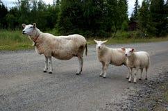 Το πρόβατο εμποδίζει το δρόμο Στοκ φωτογραφία με δικαίωμα ελεύθερης χρήσης