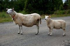 Το πρόβατο εμποδίζει το δρόμο Στοκ εικόνα με δικαίωμα ελεύθερης χρήσης