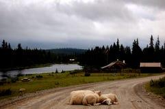 Το πρόβατο εμποδίζει το δρόμο Στοκ Φωτογραφίες