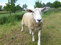 Το πρόβατο κοιτάζει Στοκ Εικόνες