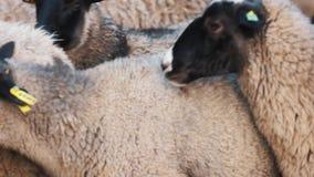 Το πρόβατο περπατά και μασά πολύ αστείο Καθημερινές αγροτικές απόψεις κλείστε επάνω κίνηση αργή απόθεμα βίντεο