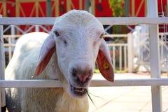 Το πρόβατο τρώει κάποια χλόη Στοκ Εικόνα
