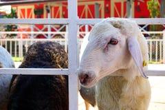 Το πρόβατο τρώει κάποια χλόη Στοκ Εικόνες