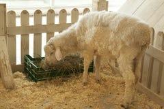 Το πρόβατο τρώει μέσα στο φράκτη Στοκ φωτογραφία με δικαίωμα ελεύθερης χρήσης
