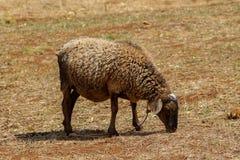 Το πρόβατο τρώει την ξηρά χλόη στο του χωριού αγρόκτημα Στοκ Εικόνες