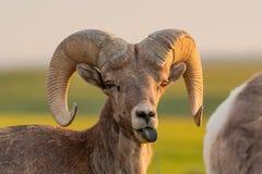 Το πρόβατο Bighorn κολλά έξω τη γλώσσα στοκ φωτογραφίες
