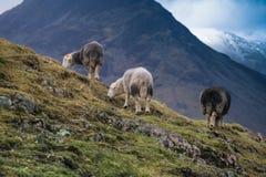 Το πρόβατο Herdwick στον υψηλό καταρρίπτει στοκ εικόνες με δικαίωμα ελεύθερης χρήσης