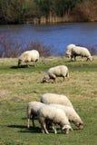 Το πρόβατο Ovis aries είναι θηλαστικό Στοκ εικόνα με δικαίωμα ελεύθερης χρήσης