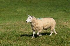 Το πρόβατο Ovis aries πηγαίνει αριστερά με τη χλόη στο στόμα Στοκ φωτογραφίες με δικαίωμα ελεύθερης χρήσης