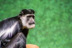 Το πρόσωπο ενός γραπτού colobus Abyssinian στην κινηματογράφηση σε πρώτο πλάνο, τροπικό specie πιθήκων από την Αφρική στοκ φωτογραφία με δικαίωμα ελεύθερης χρήσης