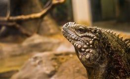 Το πρόσωπο ενός κουβανικού iguana βράχου τροπικού και τρωτού σαυρών specie κινηματογραφήσεων σε πρώτο πλάνο, από την ακτή της Κού στοκ φωτογραφίες