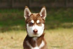 Το πρόσωπο ενός νέου κόκκινου γεροδεμένου σκυλιού με ζωηρός και κακός κοιτάζει Στοκ φωτογραφία με δικαίωμα ελεύθερης χρήσης