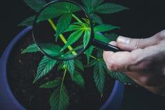Το πρόσωπο εξετάζει τις ιατρικές εγκαταστάσεις μαριχουάνα με πιό magnifier Εγκαταστάσεις καννάβεων που γίνονται εσωτερικές στοκ εικόνες με δικαίωμα ελεύθερης χρήσης
