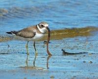 Το πρόωρο πουλί παίρνει το σκουλήκι στοκ φωτογραφία με δικαίωμα ελεύθερης χρήσης