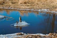Το πρώιμο ελατήριο, ο πάγος έρχεται από τις λίμνες, πάγος την άνοιξη στον ποταμό, ο λειωμένος πάγος που κατεβαίνουν από τη λίμνη Στοκ Εικόνα