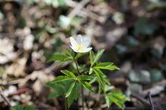 Το πρώτο άσπρο anemone λουλουδιών άνοιξη στο δασικό, θολωμένο υπόβαθρο Στοκ εικόνα με δικαίωμα ελεύθερης χρήσης