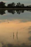 Το πρώτο αυτί ρυζιού Στοκ φωτογραφία με δικαίωμα ελεύθερης χρήσης