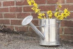 Το πότισμα λουλουδιών Forsythia μπορεί Στοκ Εικόνα