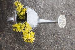 Το πότισμα λουλουδιών Forsythia μπορεί Στοκ φωτογραφίες με δικαίωμα ελεύθερης χρήσης