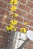 Το πότισμα λουλουδιών Forsythia μπορεί Στοκ Εικόνες