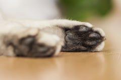 Το πόδι μιας να βρεθεί βρετανικής γάτας ασημένιος-χρώματος Στοκ Φωτογραφία