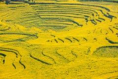 Το πόδι στρατόπεδων δήμων Niujie κομητειών Luoping Yunnan βιδώνει το terraced λουλούδι canola Στοκ Εικόνα