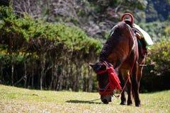 Το πλήρες άλογο σωμάτων βόσκει την άνοιξη Στοκ Εικόνες